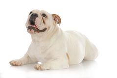 Dog looking up. English bulldog laying down looking up with reflection on white background Stock Photography
