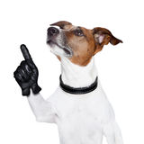 Dog Looking Up And Pointing Royalty Free Stock Images