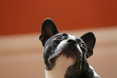 Dog looking up Royalty Free Stock Images