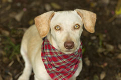 Dog Looking Up. Is a curious dog with bright yellow eyes and a plaid bandanna looking up with wonder and curiosity Stock Photo