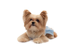 Dog Looking Up. Cute mixed breed dog in relaxation pose looking up  in white back ground with clipping path Stock Images