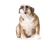 Dog looking up. English bulldog 8 months old Stock Photo