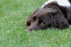 Dog looking up from grass Royalty Free Stock Photography