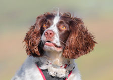 Dog looking up Royalty Free Stock Image
