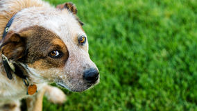 Dog looking up at you Stock Photography