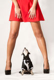 Dog Looking Upskirt Royalty Free Stock Photos