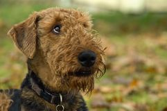 Dog looking upwards. Expressive airedale glancing upwards. He's posed outdoors with a fall background stock images