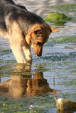 The dog looking in water Royalty Free Stock Image