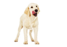 Dog looking Royalty Free Stock Photography