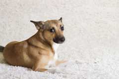 Dog looking Royalty Free Stock Photos