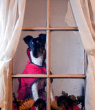 Dog Looking In The Window Royalty Free Stock Photography