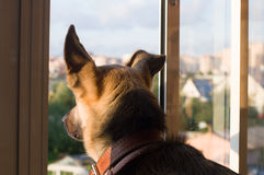 A dog is looking through the window Royalty Free Stock Photo