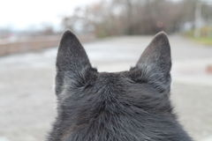 The dog looks away. Back of the head and ears of a dog close up. Back view. Blurry Stock Photography