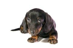 Dog looks on camera. Black dog Lays and looks on camera  on white background isolated Stock Image