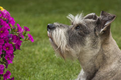 Dog Looks At Flowers Stock Image