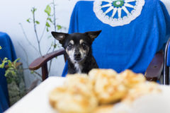 A dog that looks at food Royalty Free Stock Photo
