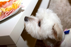 Dog looks at food. The dog looks at the food on the table Royalty Free Stock Image