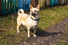 dog looks like owner Royalty Free Stock Photos