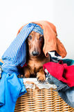 A dog looks out of the basket Stock Images