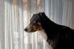 Dog looks out the Window royalty free stock image