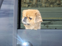 Dog Looks out Window Royalty Free Stock Image