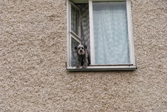 The dog looks out the window. The dog watches from a window of a high-rise apartment building Royalty Free Stock Photo