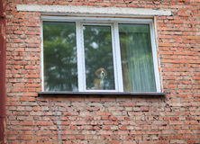 The dog looks sad in the window. The window in the brick wall of the building Stock Photo
