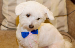 The dog looks sadly. The dog with a blue bow looks sadly Royalty Free Stock Photos