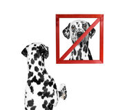 Dog looks at a sign prohibiting. Isolate on white background royalty free stock image