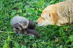 Dog looks and sniffs the little kittens that sit on grass. We w royalty free stock images