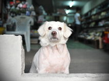 Dog Looks-on at a Street. Dog Looks-on from a Shop on a Bangkok Street Stock Photo