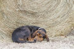 Dog looks tired by bale of hay. Stock Photography