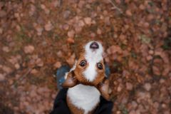 The dog looks up. Jack Russell Terrier outdoors stock photo
