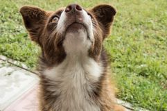The dog looks up at owner and asks for food. Dog looks up at owner and asks for food Royalty Free Stock Photo