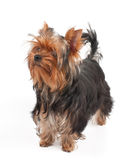 Dog looks up Royalty Free Stock Photography