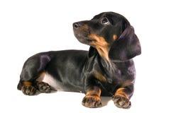 The dog looks upwards. Black dog Lays and looks upwards  on white background isolated Stock Photography