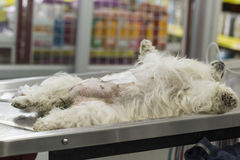 Dog lose consciousness. After Caesarean section on operating table in veterinarian's clinic stock images