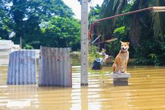 Dog is lost to the owner while flooding. A dog is lost to the owner while flooding royalty free stock image