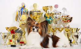 Dog with a lot of cups from competitions Royalty Free Stock Photography