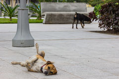 A dog lounges on the cement ground in center of Luquillo, Puerto Rico, United States of America Royalty Free Stock Image
