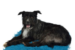 Dog lounging on furry carpet Stock Images