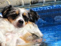 Dog Lounging In A Pool Royalty Free Stock Photos