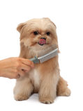 Dog Love Brushing Stock Photography