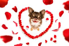 Happy valentines dog. Dog in love for happy valentines day with petals and rose flower , looking up in wide angle Royalty Free Stock Photography