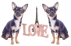 Dog with love letters in Paris. Dog chihuahua with love letters in Paris Stock Photo