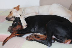 Dog love. Pets love and share without any ulterior motive Stock Photos