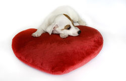 Dog in love with a red heart Royalty Free Stock Image