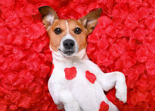 Dog love rose valentines Royalty Free Stock Image