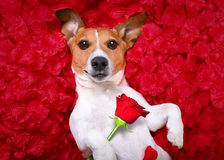 Dog love rose valentines Royalty Free Stock Image