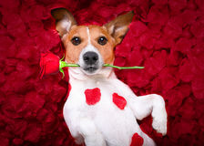 Dog love rose valentines. Jack russell  dog looking and staring at you in love  ,while lying on bed with valentines petal roses as background, rose in mouth Stock Photo